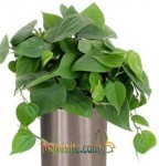 فیلودندرون اسکاندنس - PHILODENDRON SCANDENS